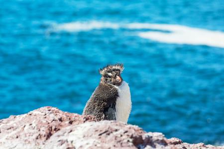 forelock: Rockhopper penguin in Argentina