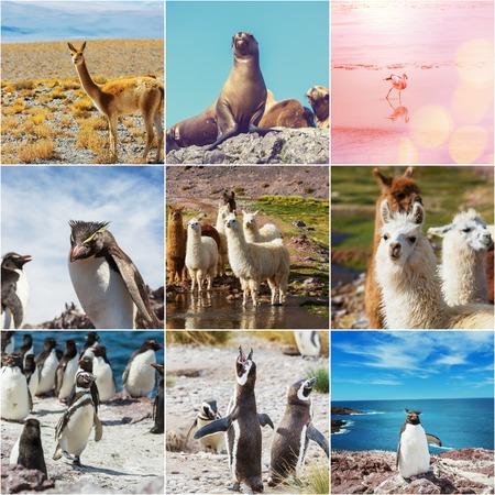 Argentina animals collage photo