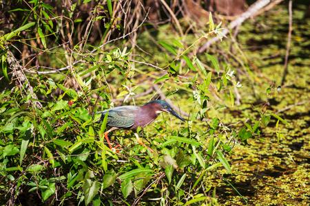 Everglades national park: Green Heron,Everglades National Park, Florida