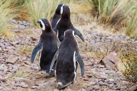 Magellanic Penguin (Spheniscus magellanicus) in Patagonia photo