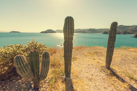 baja california: Cactus fields in Mexico,Baja California