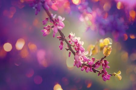 redbud: redbud tree pink flowers spring background