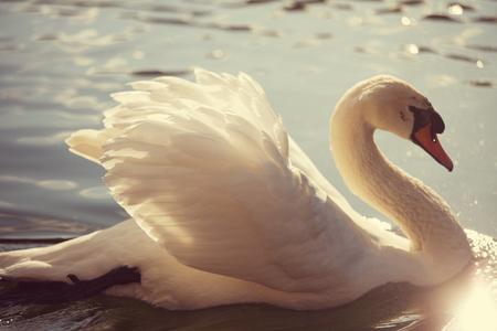 cisnes: Swan Foto de archivo