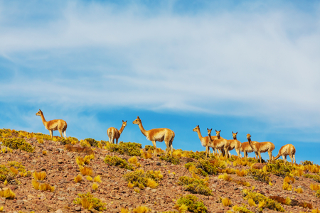 patagonia: Guanaco (Lama Guanicoe) in Patagonia Stock Photo