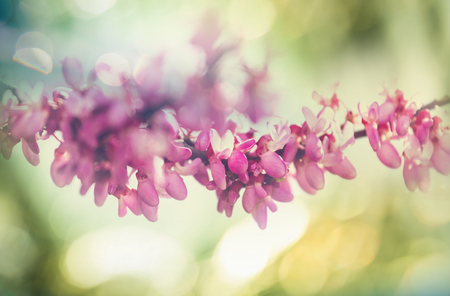 redbud: Redbud tree pink flowers spring background Stock Photo