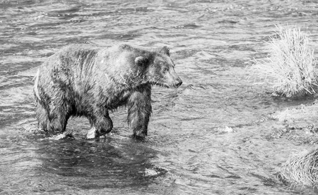 brooks camp: Brown bear in Alaska Stock Photo