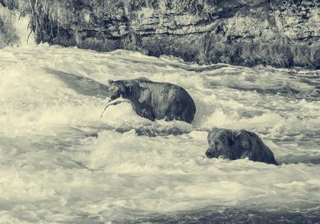 brooks camp: Brown bears in Alaska