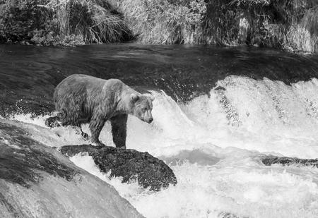 brooks camp: Brown bear on Alaska