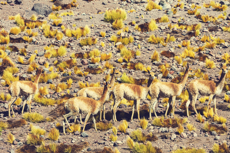 guanicoe: Guanaco Lama Guanicoe in Patagonia