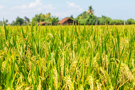 grain fields: rise field