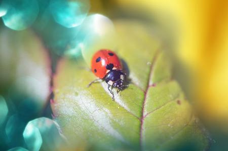 flower ladybug: Ladybug in grass