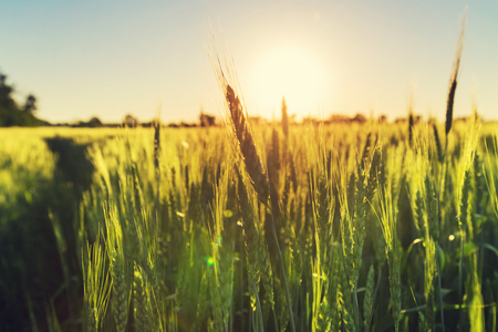 food background: Wheat