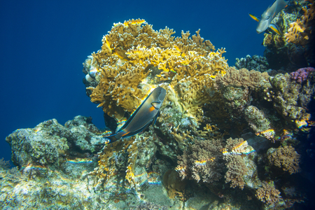 live coral: Coral fish in Red Sea Egypt
