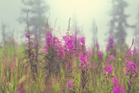 countryside landscape: Summer flowers on the foggy meadow