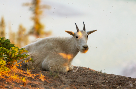 banff: Wild Mountain Goat, Banff National Park, Alberta Canada