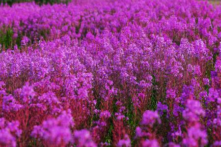 alpine tundra: Meadow in Alaska Stock Photo