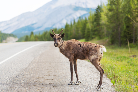 reindeer in Norway Фото со стока