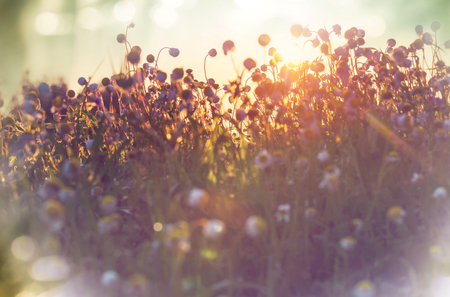 mountain sunset: Summer flowers on the foggy meadow