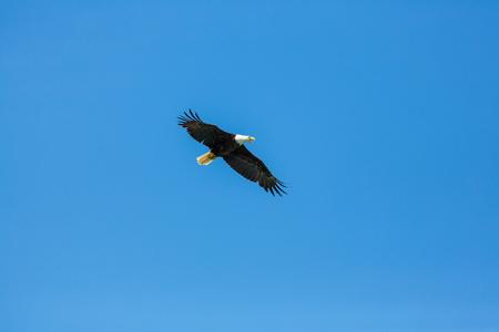 american bald eagle: american bald eagle in flight against clear blue alaska sky