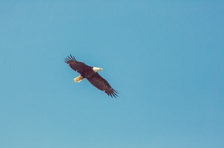aguila calva: águila calva americana en vuelo contra el cielo azul claro Alaska