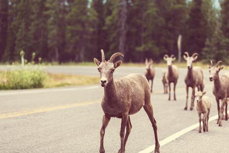 banff: Rocky Mountain Big-Horned Sheep, Banff National Park in Autumn