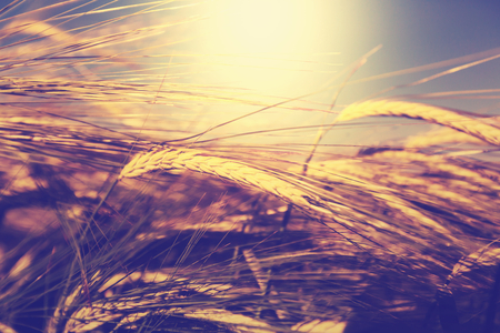 cereal plant: Wheat field, close up shot Stock Photo