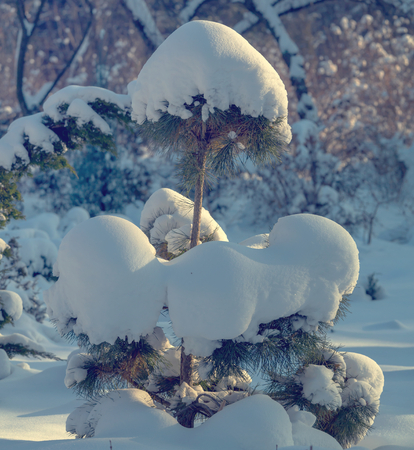 snow forest: Winter forest