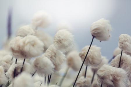 Arctic Baumwolle Blumen Standard-Bild - 48380374