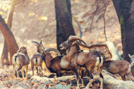 cyprus: Wild moufflon in Cyprus