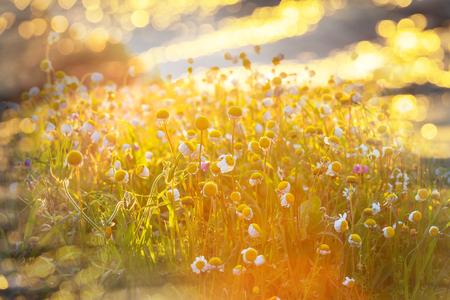 flower fields: Sunny day in the meadow
