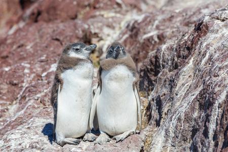 patagonia: Magellanic Penguin Spheniscus magellanicus in Patagonia Stock Photo