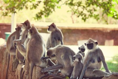 lanka: Monkeys in Anuradhapura, Sri Lanka