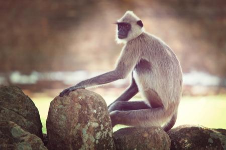 wild asia: Monkeys in Anuradhapura, Sri Lanka