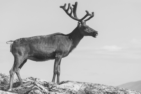 caribou: Reindeer in Norway Stock Photo