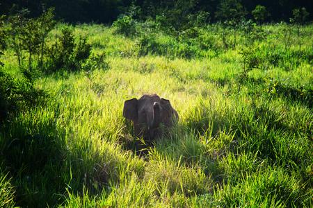lanka: Elephant on Sri Lanka