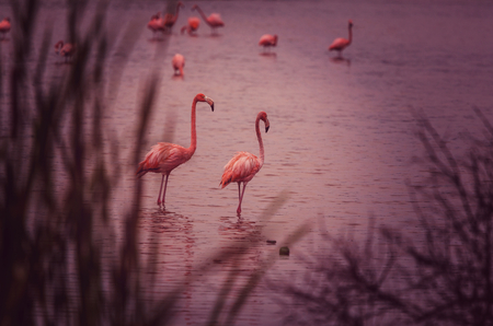 wade: Mexican flamingos wade in lagoon