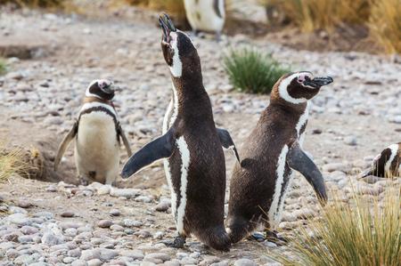 gregarious: Magellanic Penguin Spheniscus magellanicus in Patagonia Stock Photo