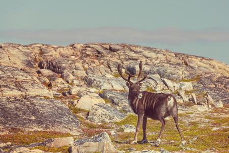 alpine tundra: Reindeer in Norway Stock Photo