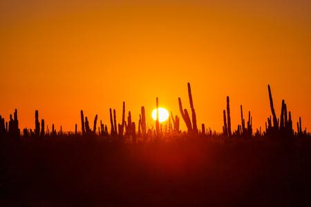 baja california: Cactus fields in Mexico, Baja California