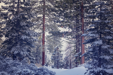 winter sunrise: Scenic snow-covered forest in winter