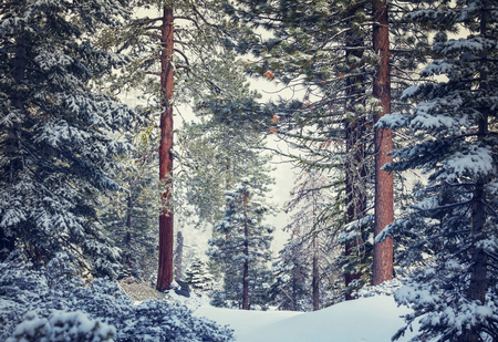 pine forest: Scenic snow-covered forest in winter