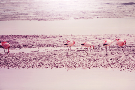 bolivia: Flamingo in Bolivia