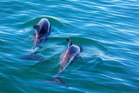 somersault: Dolphin in ocean, Argentina