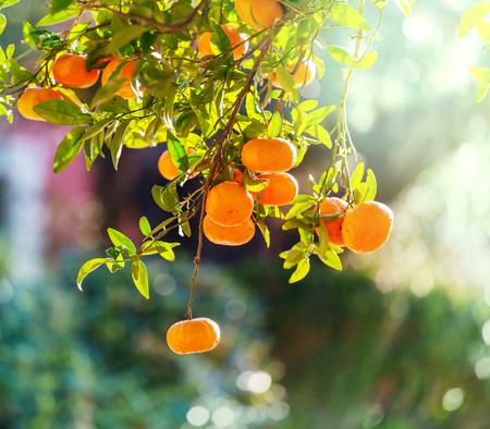 tangerine tree: Tangerine in garden Stock Photo