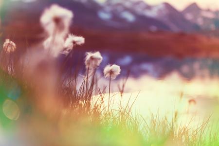 summertime: Arctic cotton flowers