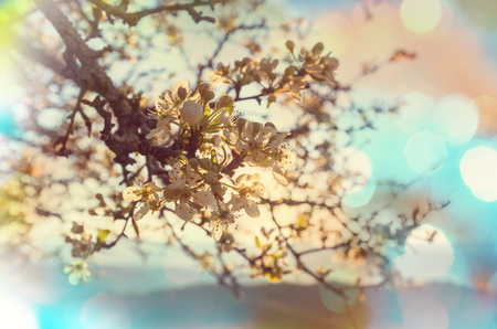 tree branch: Blossoming cherry