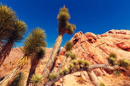 joshua: Joshua tree in desert