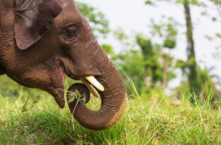 Baby elephant in Chitvan National Park, Nepal