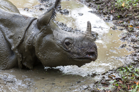 forest animals: Rhino is eating the grass in the wild, Chitwan national park, Nepal Stock Photo