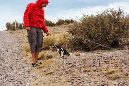 gregarious: Magellanic Penguin (Spheniscus magellanicus) in Patagonia